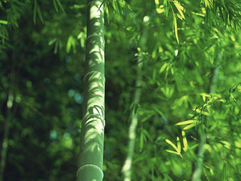 竹子950轮播图片素材